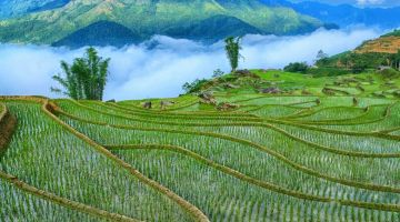 lush-green-rice-sapa